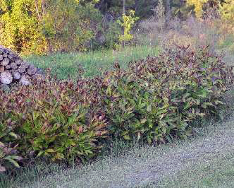 Peony plants in the fall