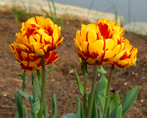 Yellow tulips with red streaks