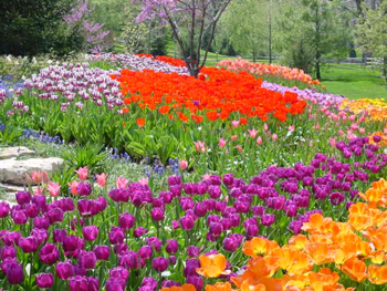 Landscape of tulips in various colors