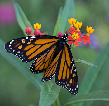 Monarch butterfly on Asclepias curassavica flower