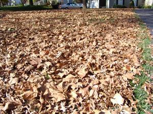 Lawn filled with dead tree leaves
