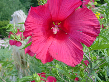 Growing Hardy Hibiscus