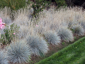 Ornamental Grass Care