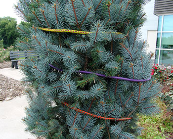 Blue spruce wrapped with bungee cords