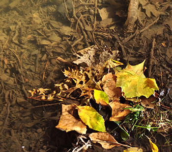 Fall leaves in a local creek