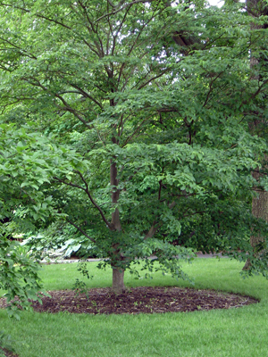 Mulch ring around mature tree