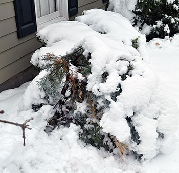 Snow bent Wichita blue juniper