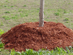 Volcano mound of mulch around young tree