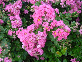 Shrubs for summer color a staple of the south crape myrtles are now right at home in local gardens this plant loves the heat and is in its prime during the dog days of summer mightylinksfo