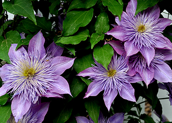 Not everyone knows how to prepare clematis for winter