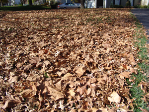 Leaves on the lawn