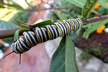 Monarch catepillar on mexican milkweed plant