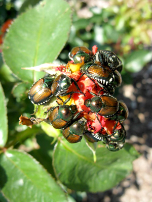 Japanese Beetles on rose buds