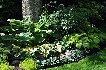 Hostas in the landscape
