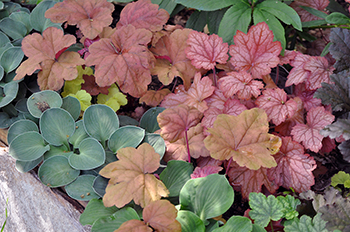 Colorful heuchera and hosta Blue Mouse Ears