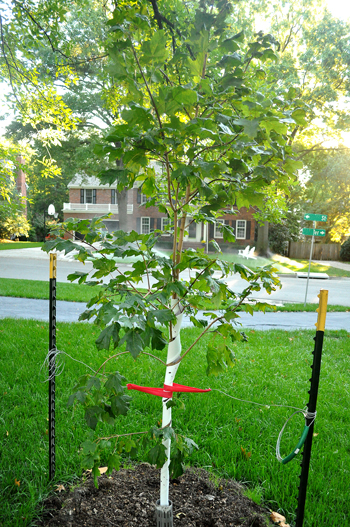 Small maple tree planted in the fall
