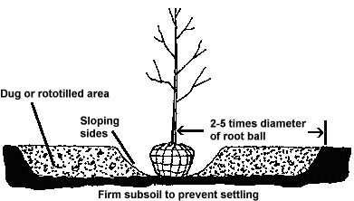 Illustration showing correct way to dig a hole for planting a tree.