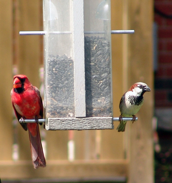 Male cardinal and house sparrow on a tube feeder eating black oil sunflower seeds.