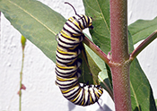 Monarch catepillar on milkweed plant