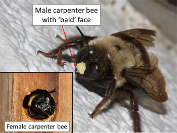Carpenter bee male compared to female