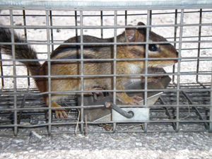 Chipmunk trapped in a live trap